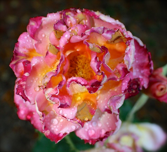 Burnt Pink Dripping Rose