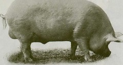"""Image from page 17 of """"Swine husbandry in Canada"""" (1922)"""