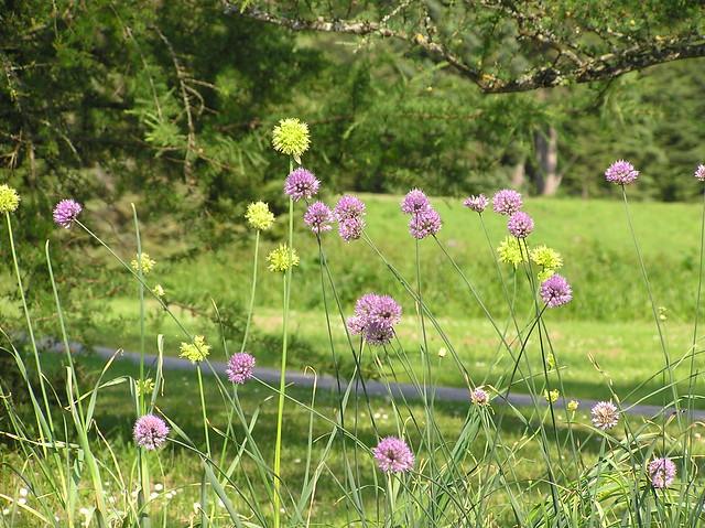 Allium obliquum & A. hymenorrhizum,Tallinn Botanic Garden