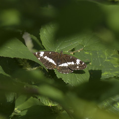 De zeldzame kleine ijsvogelvlinder, ik heb hem gevangen… met mijn camera natuurlijk!