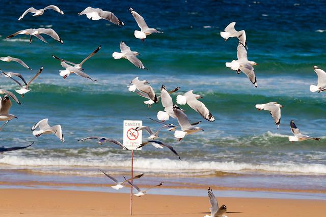 Seagulls fly / Manly Beach, Sydney, Australia / SML.20140317.7D.51943