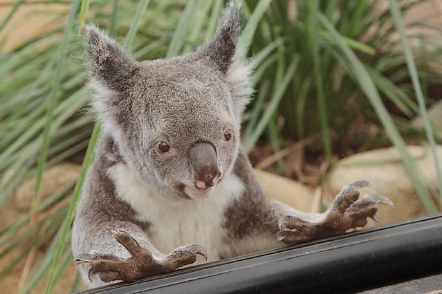 KoalaSanctuary14