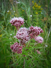 yarrow(0.0), shrub(1.0), flower(1.0), plant(1.0), lilac(1.0), herb(1.0), wildflower(1.0), flora(1.0), meadowsweet(1.0),