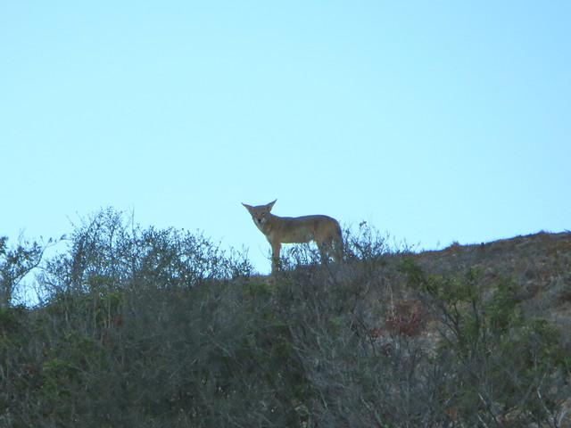 coyote next door