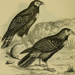 """Image from page 613 of """"Reptiles and birds : a popular account of their various orders, with a description of the habits and economy of the most interesting"""" (1883)"""