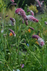 SANGUISORBA 'Purple Tails'