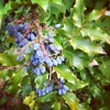 Oregon grape berries in the neighbors yard.