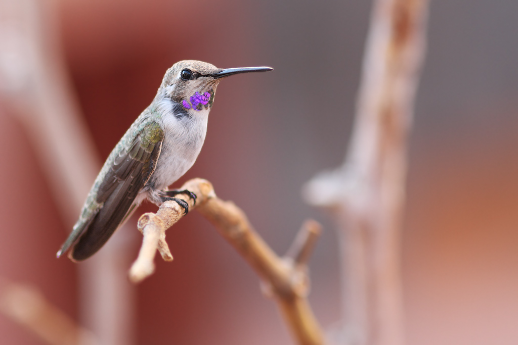 immature-male-Costa's-Hummingbird-030814