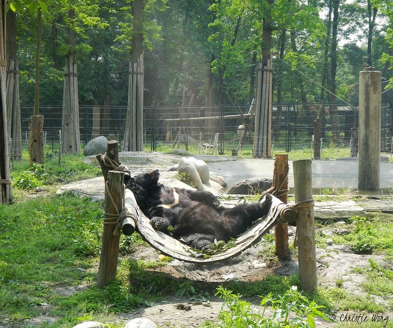 A bear relaxes on the hammock in China Bear Rescue Centre