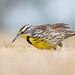 Eastern Meadowlark by Melissa James Photography