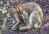 Backyard Bunny by acadia_breeze4130 (unable to catch up!)