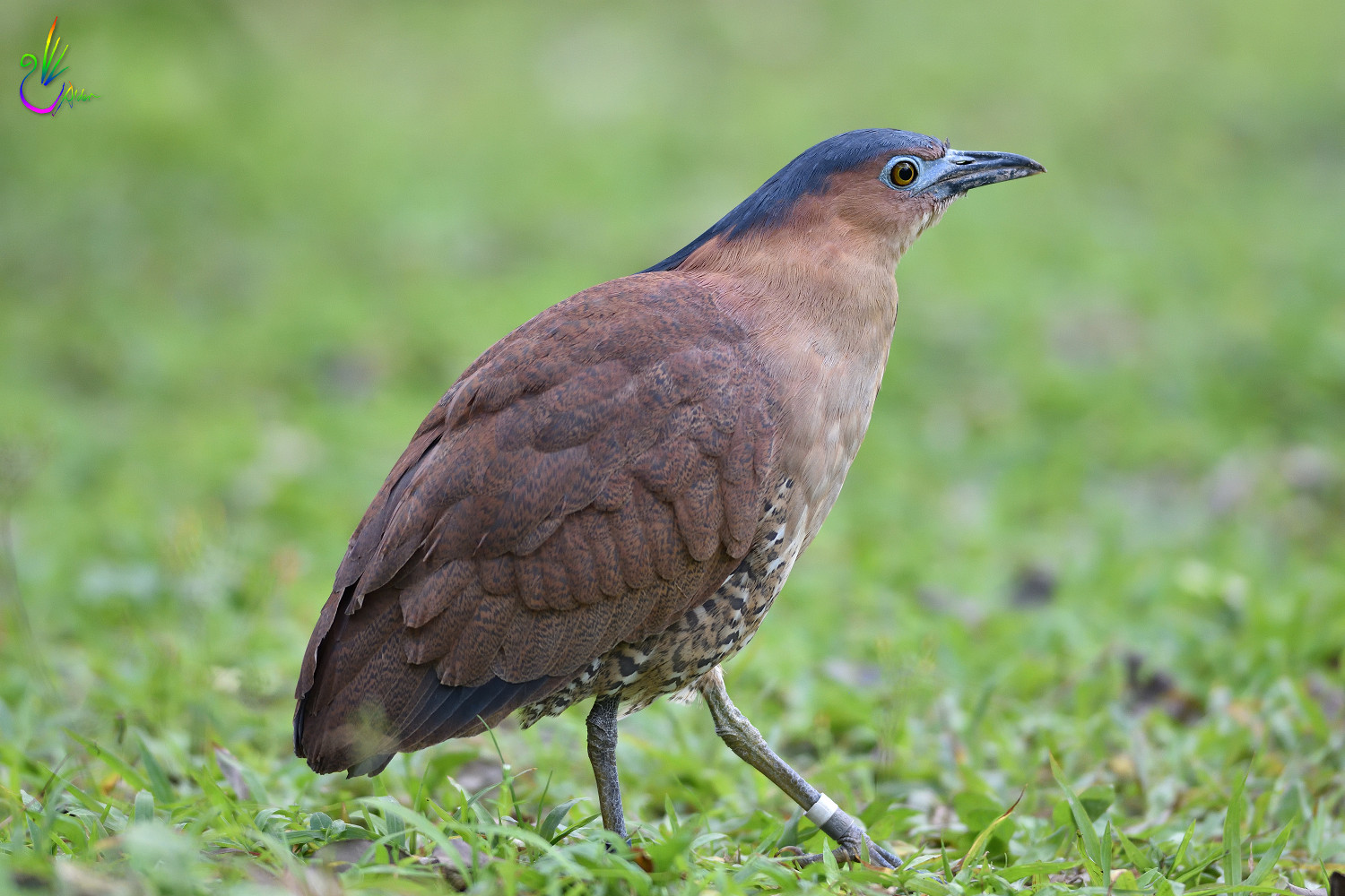 Malayan_Night_Heron_5406