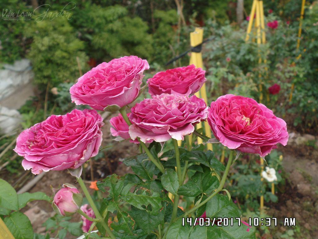hoa hong cat canh kate rose (22)+vuonhongvanloan.com.JPG