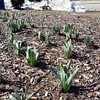 Temperatures are below freezing, but the marathon daffodils are sprouting. #signsofspring