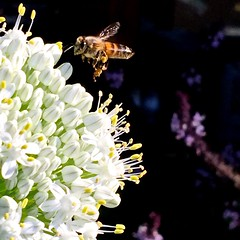 Honey Bee With Full Pollen Baskets Over White Onion Flower Cluster, or Umbel