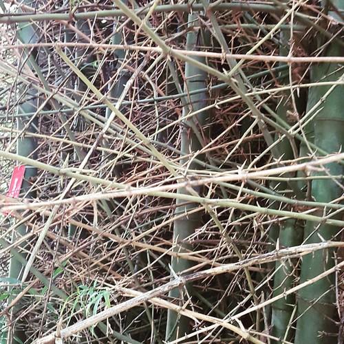 Bambusa bambos (L.) Voss., Bambu espinhoso da Índia.  Coleção de Bambus da UDP/Tatui- SMA/SP