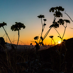 1703 Brittle Bush and Sunset