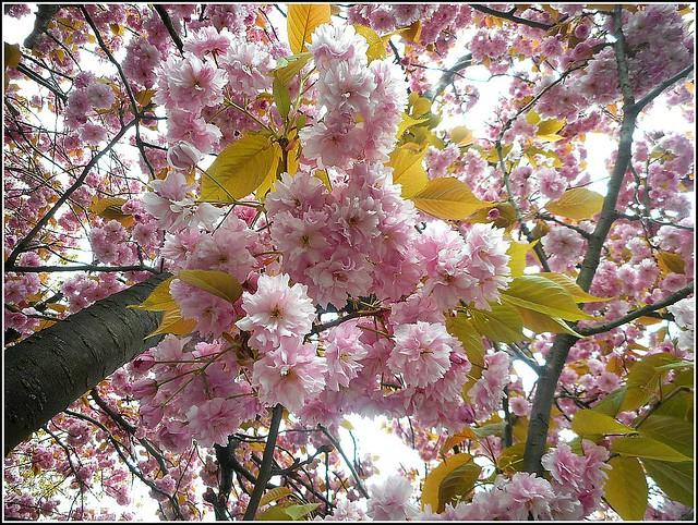Prunus serrulata ...