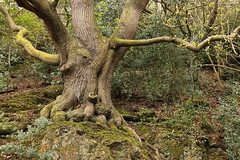Malvern - tree roots