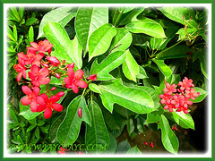 Jatropha integerrima (Spicy Jatropha, Peregrina) with clusters of red flowers, Sept 27 2013