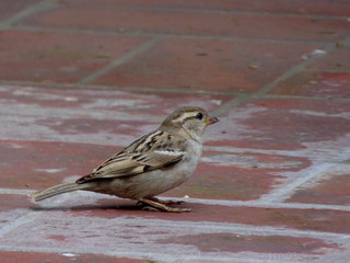 House Sparrow (female) in District Attock, Pakistan - March 2014