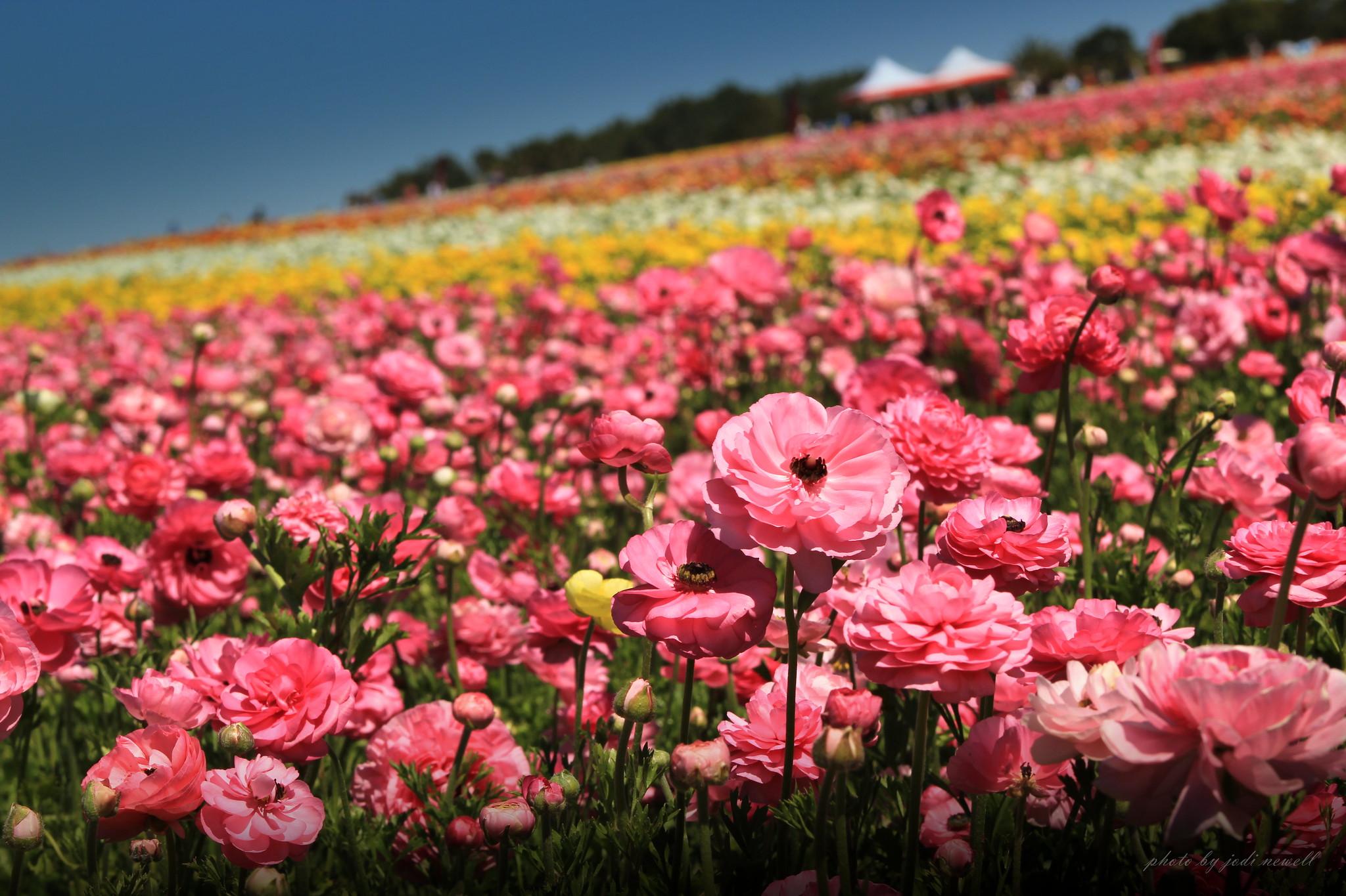 Thousands of Ranunculus