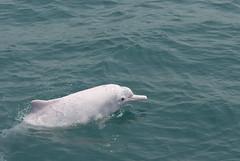 台灣西岸的這群白海豚,基因表現與中國廣東、香港一帶明顯不同,IUCN承認其獨特性 ,列為極度瀕絕。(圖片來源:林務局)