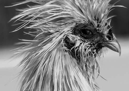 Mad as a Wet Silkie, Honorable Mention at Iowa State Fair Photography Salon 2014