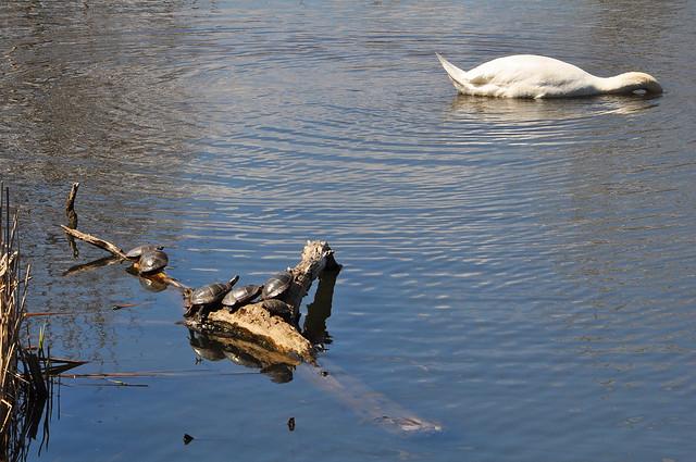 Swan Audience 2