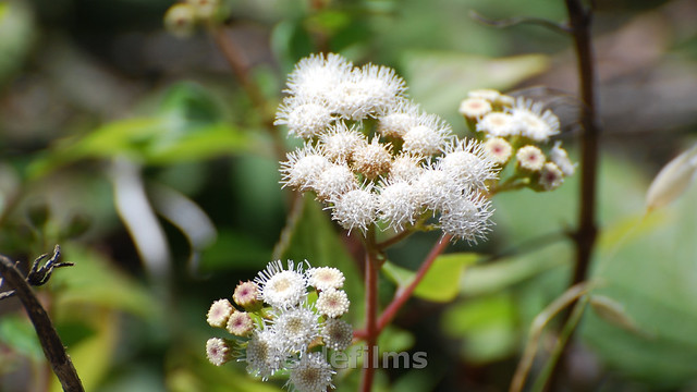 Header of Ageratina riparia