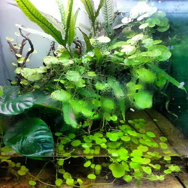 Resistenza minima #paludarium #anubias # hydrocotyle #microsorium #sp.japan