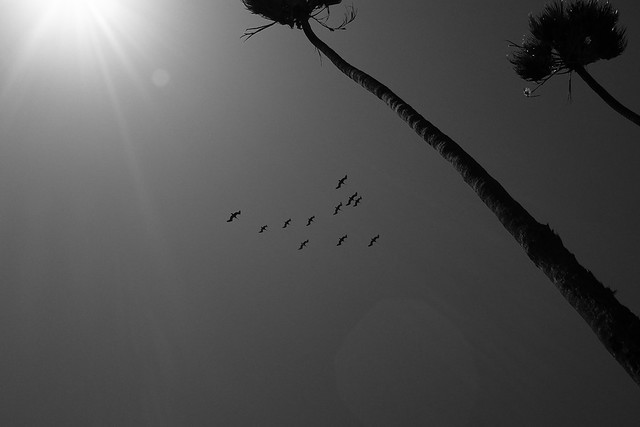 Pelicans, palisades, palm trees, and flare