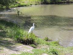 Great Egrett Milpitas CA (13)