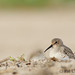 Dunlin behind the dunes by Pat Ulrich