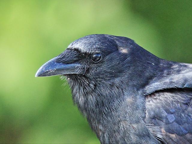 Fish Crow 20140422
