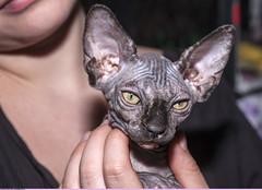 Котёнок-сфинксёнок