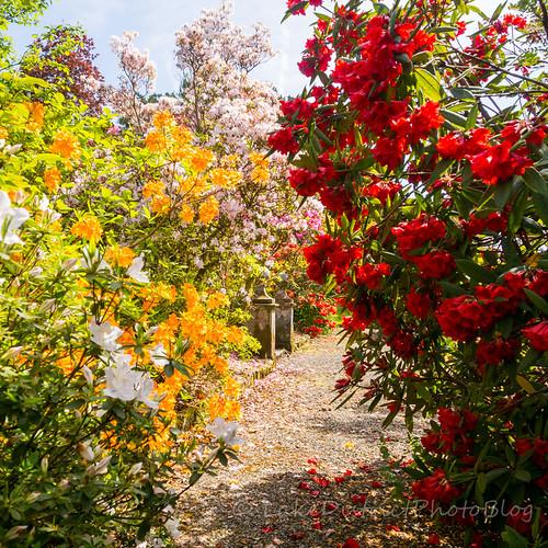 イギリス 湖水地方 シャクナゲ 庭 花
