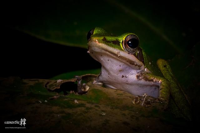 Macro Green Frog_9386