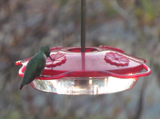 First Male Hummingbird1R 5:2:14