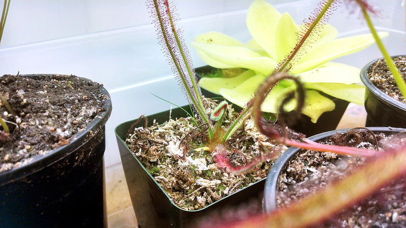 Drosera spiralis with new leaf unfurling.