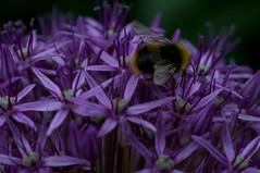 Busy Bee + Allium