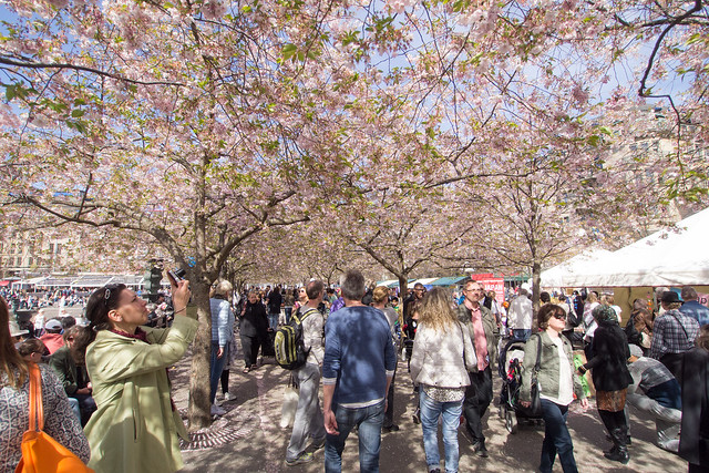 sakura in stockholm 04