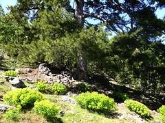 Le lariciu des bergeries de Palicchiosa