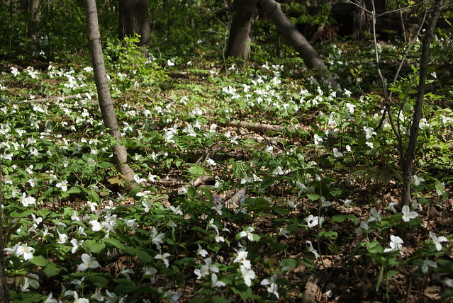 Profusion of Trilliums
