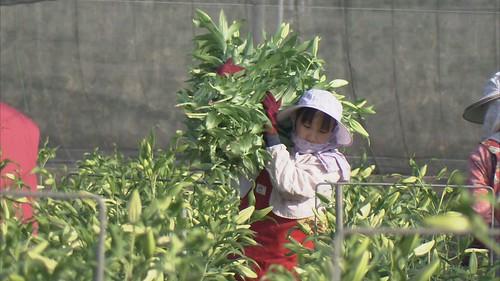 后里是高級花卉重要產地