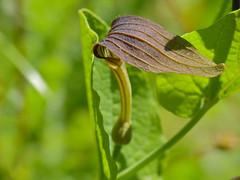 Round-leaved Birthwort (Aristolochia rotunda)
