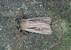 2205 Shoulder-striped Wainscot - Mythimna comma
