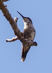 Ruby-throated Hummingbird B198876focPr