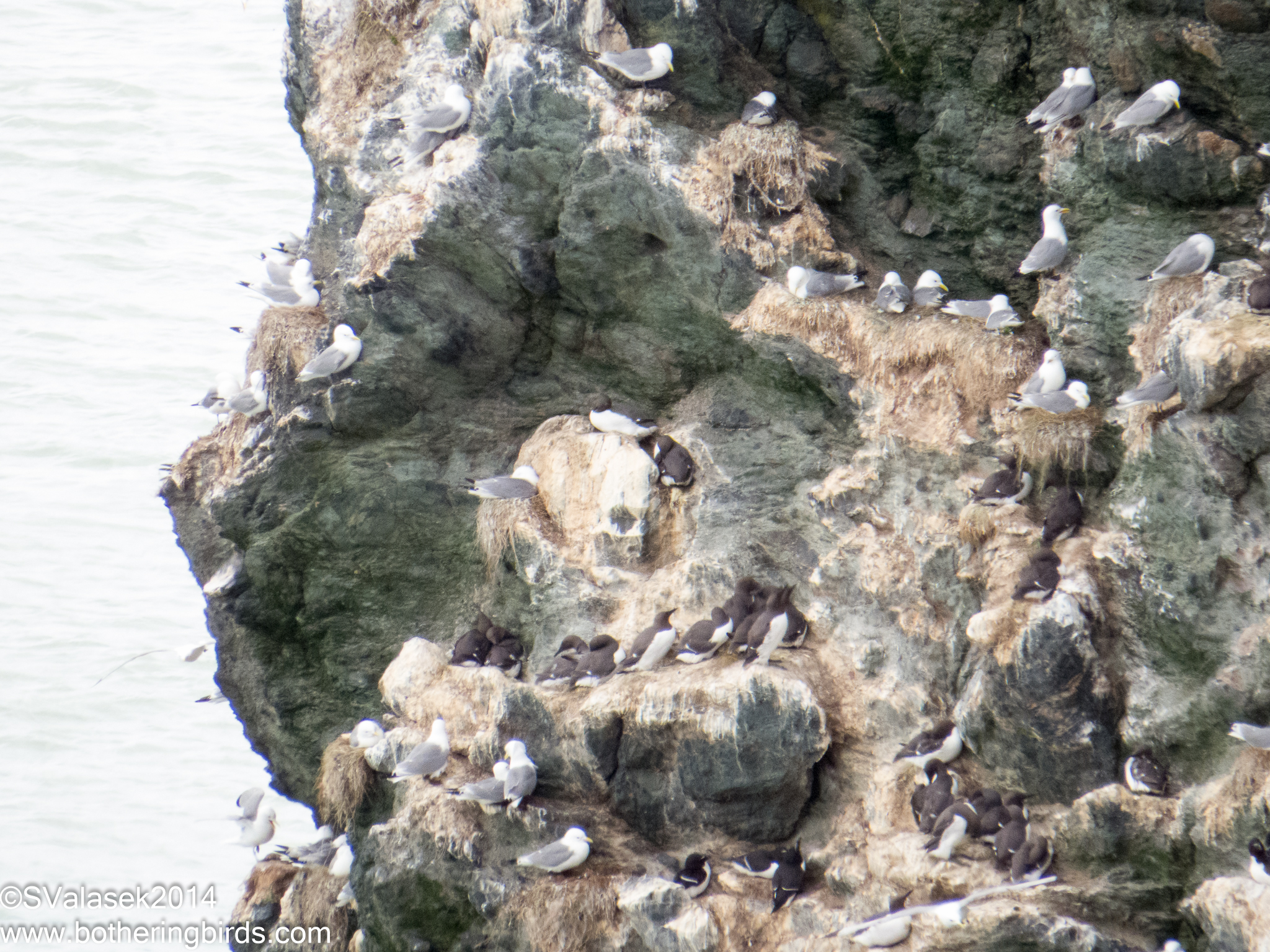 Black-Legged Kittiwake, Razorbill and Guillemot nesting