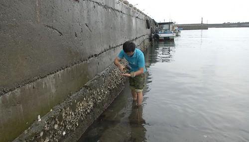 黃俊男在碼頭邊採集野生石蚵